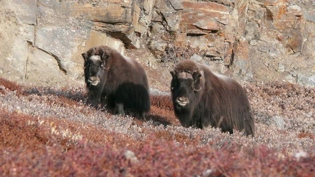 Musk Oxen, Greenland