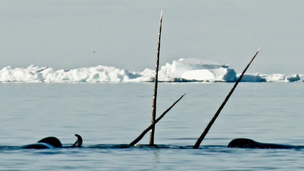 Narwhal Tusks in the Arctic Sea, Canadian Arctic