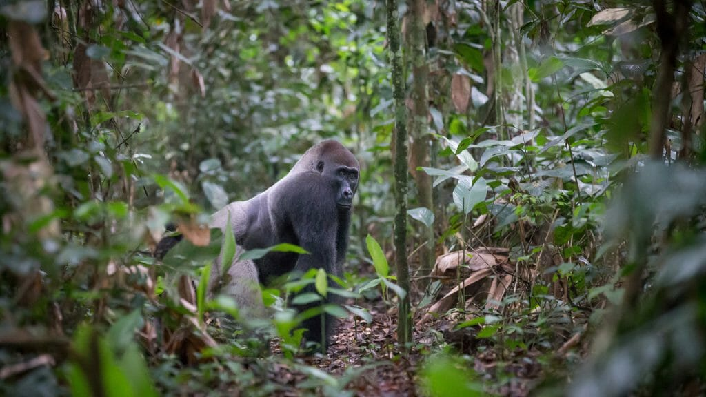Neptuno Group lowland gorilla Silverback, Ngaga Camp, Odzala, Rep of Congo
