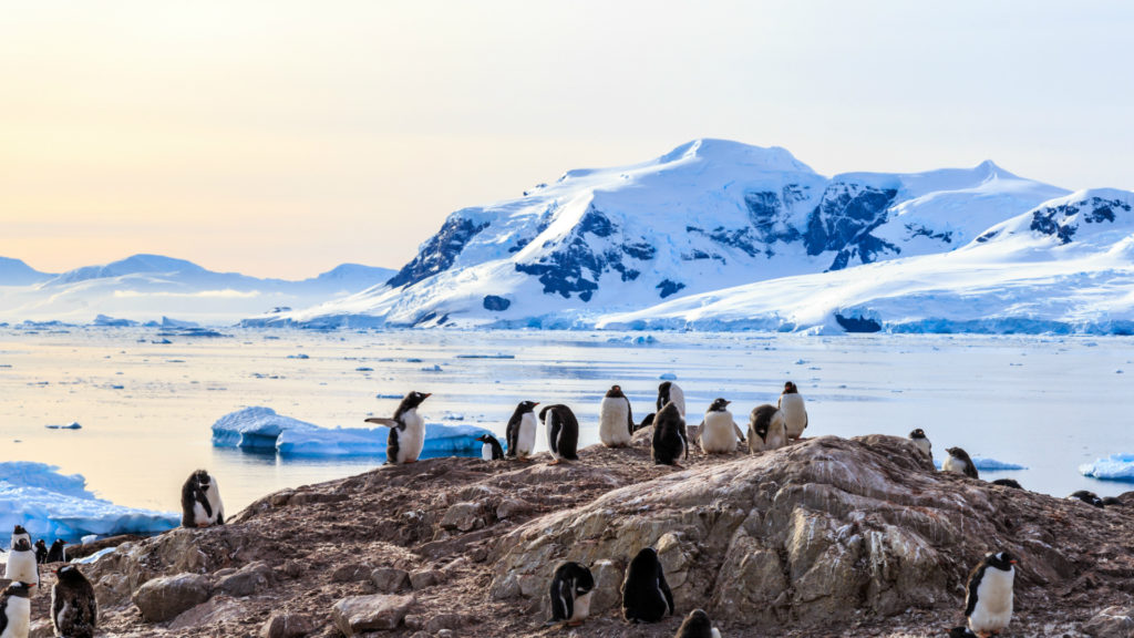 Rocky coastline overcrowded by gentoo pengins and glacier with icebergs in the background at Neco bay, Antarctica