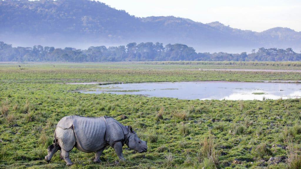 One Horned Rhinoceros, Kaziranga National Park, India