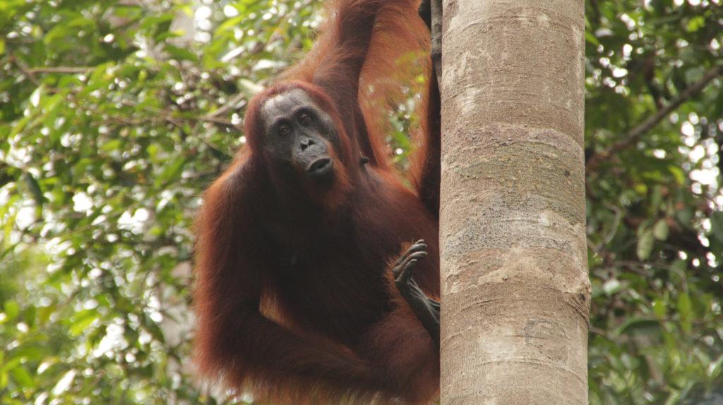Orangutan, Pangkalan Bun, Indonesia