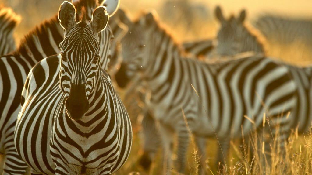 Plains zebra (Equus quagga), Masai Mara National Reserve, Kenya