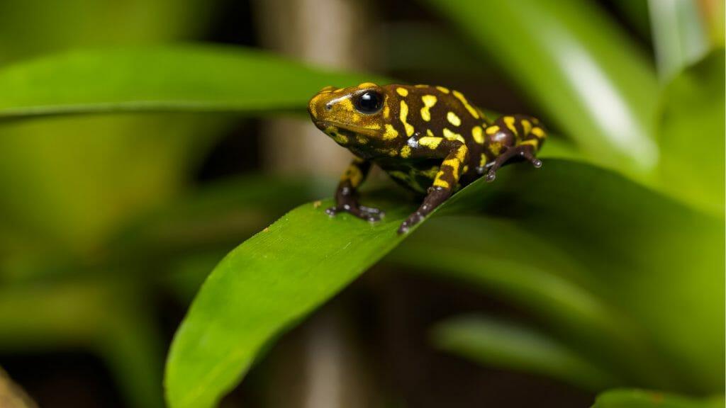 Poison dart frog, Ecuadorian amazon