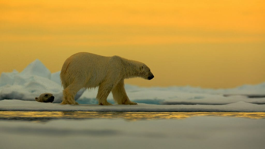 Polar bear on the drift ice with snow, with evening yellow sun, Spitsbergen, Norway