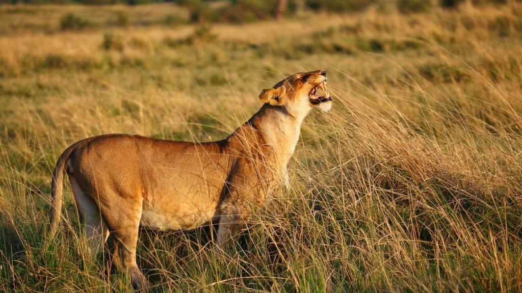 Pregnant lioness at dawn, Masai Mara, Kenya