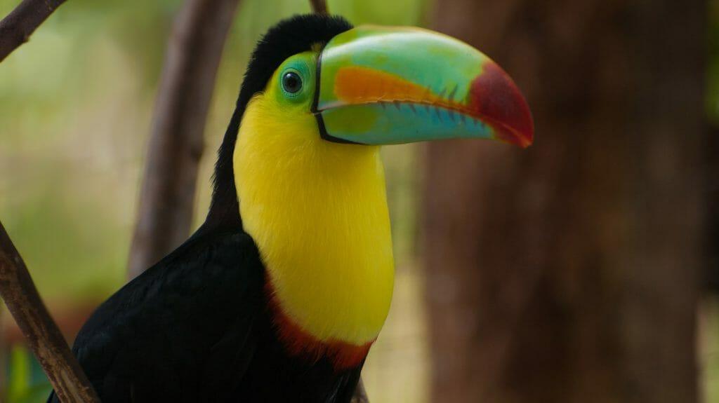 Rainbow Billed Toucan, Belize