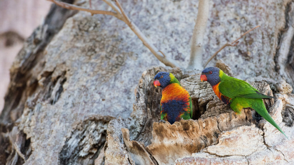 Rainbow Lorikeet on Boab tree nest, The Kimberley, Western Australia