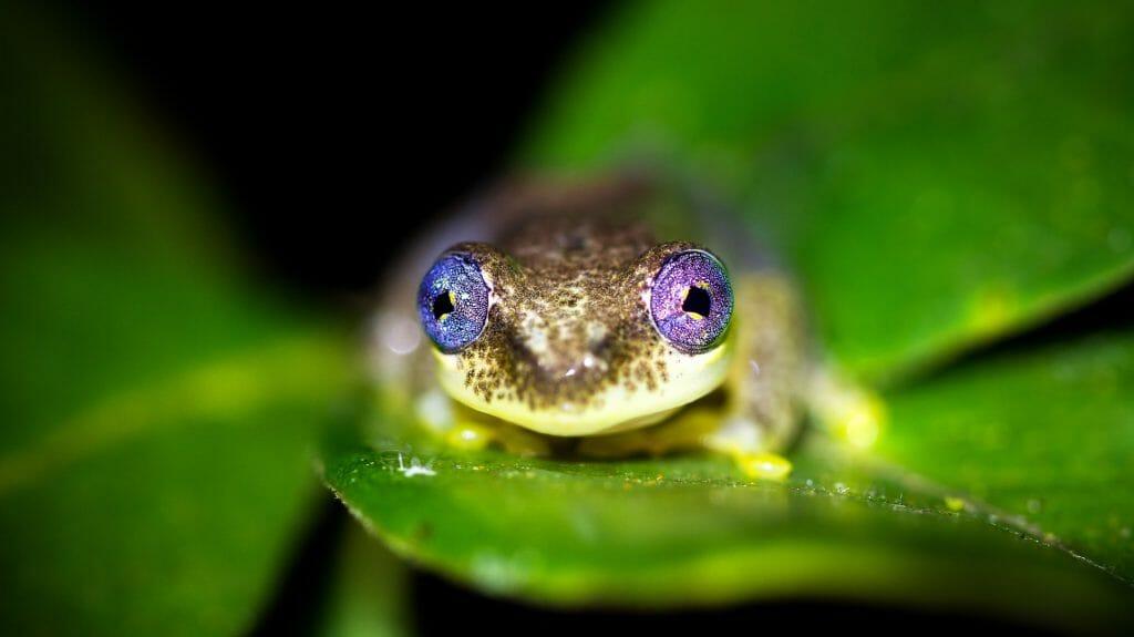 Reed frog, Andasibe Mantadia, Madagascar