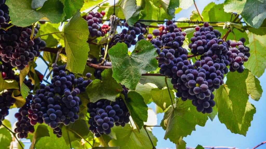 Wine Growing, Georgia