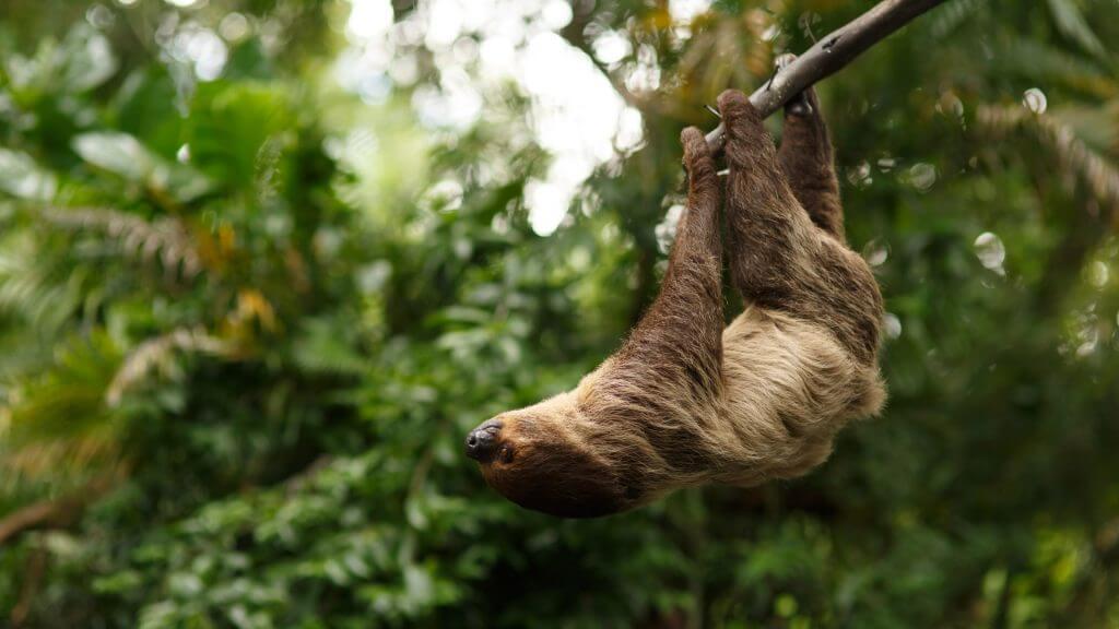Sloth, Amazon