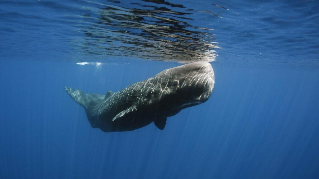 Sperm Whale, Trincomalee, Sri Lanka