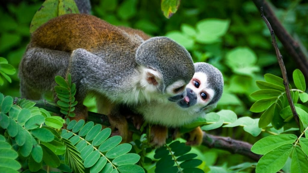 Squirrel Monkey, Amazon