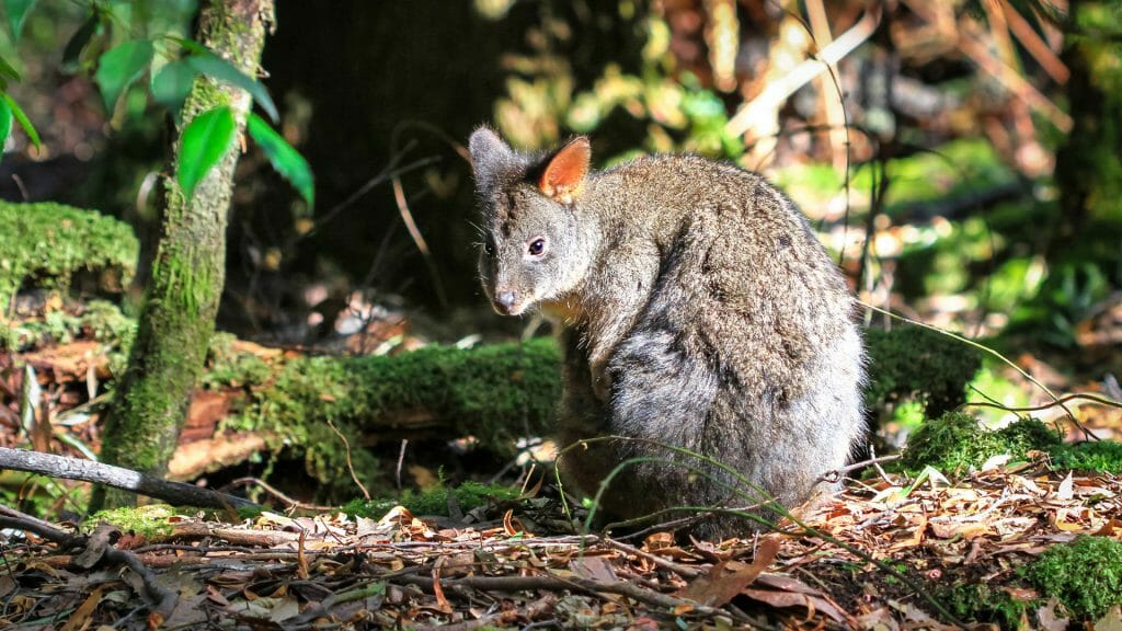 Tasmanian pademelon, Mt. Field National Park, Tasmania, Australia