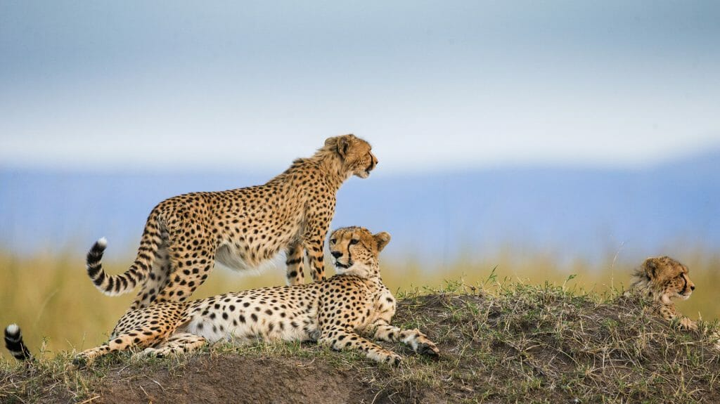 Three cheetahs in the savannah, Serengeti National Park, Tanzania