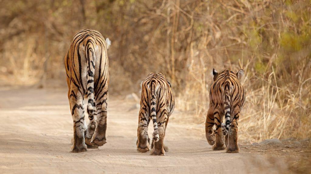 Bengal Tigers, India