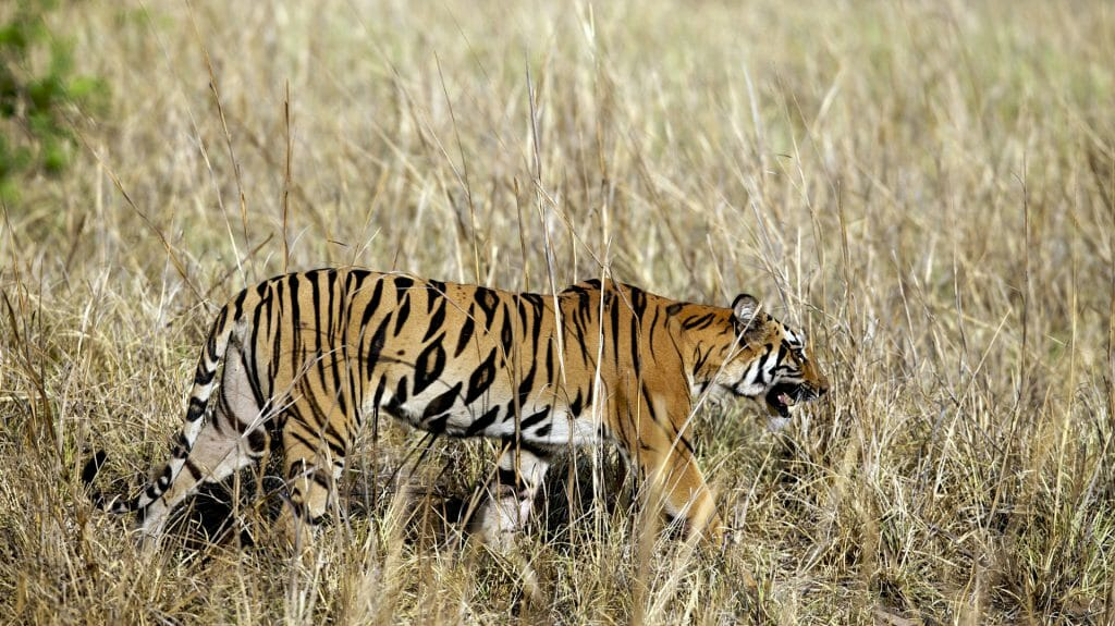 Tiger, Tadoba, India, JK