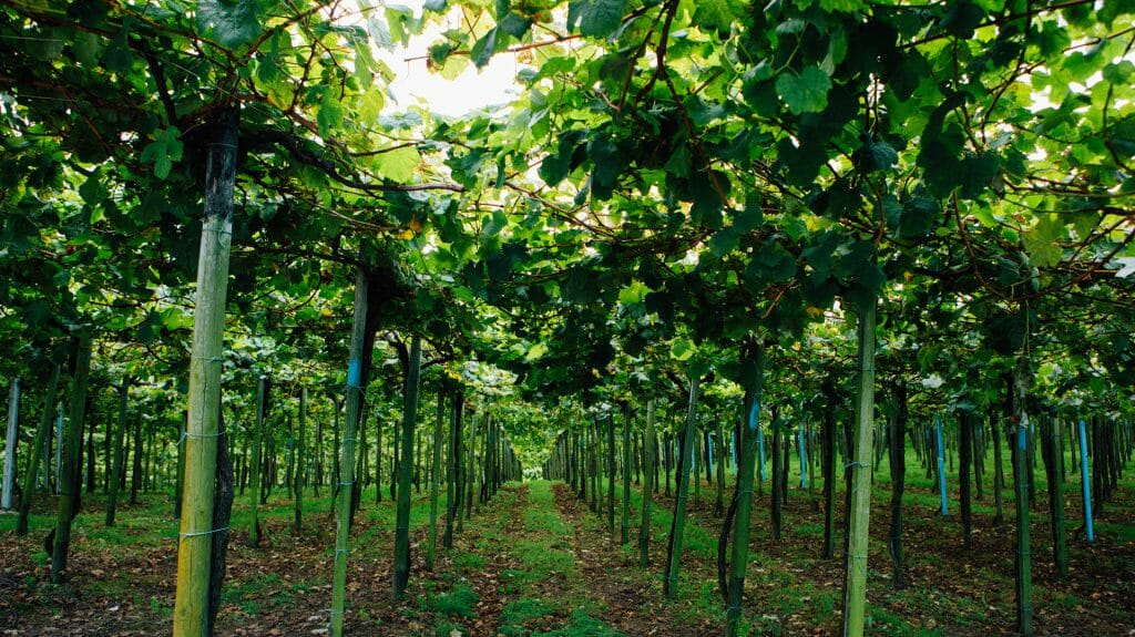 Vineyards, Spain, Basque Region