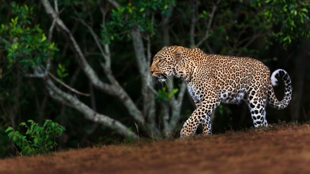 Walking Leopard female Kaboso in Masai Mara, Kenya shutterstock 238382482