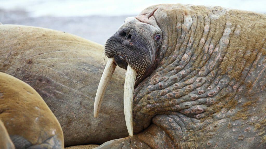 Walrus Family, Spitsbergen