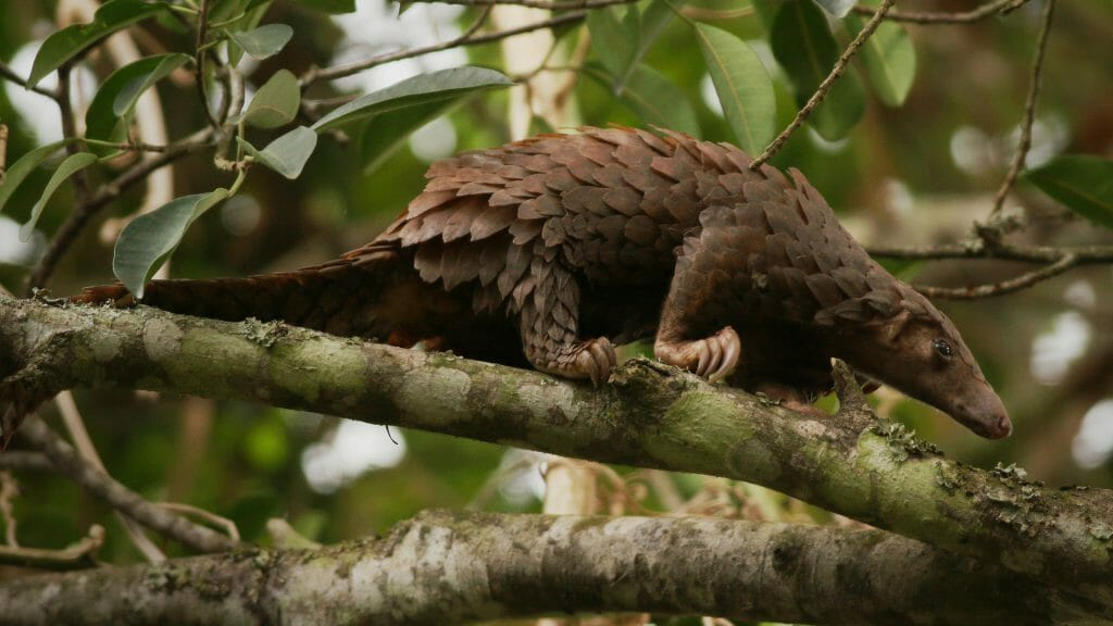 White-bellied pangolin, Central African Republic