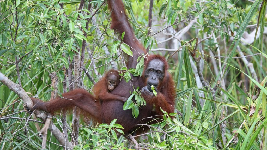Wild Orangutan and youngster, Indonesia