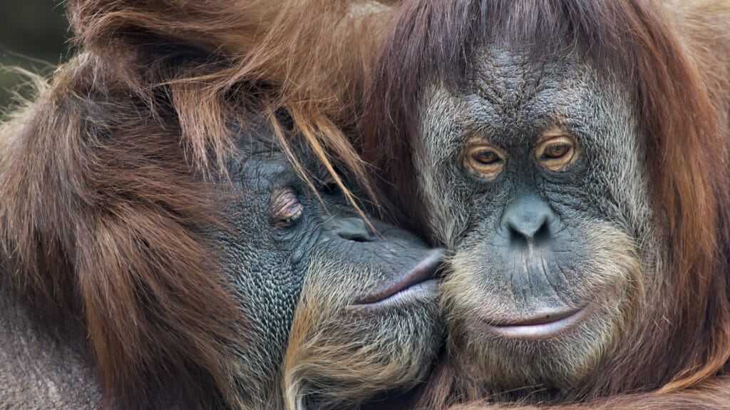 Wild Tenderness Among Orangutan, Borneo