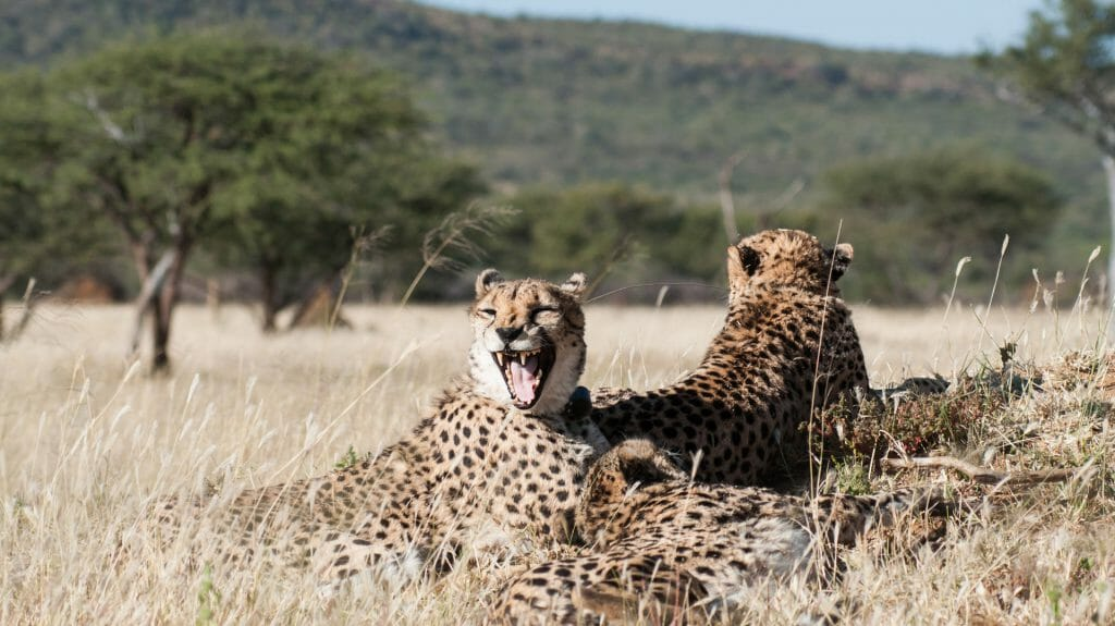 Yawning cheetah, Okonjima Nature Reserve, Namibia