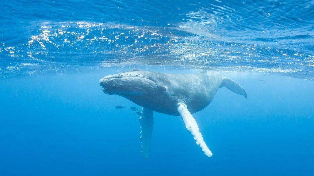 Humpback Whale, Caribbean Sea