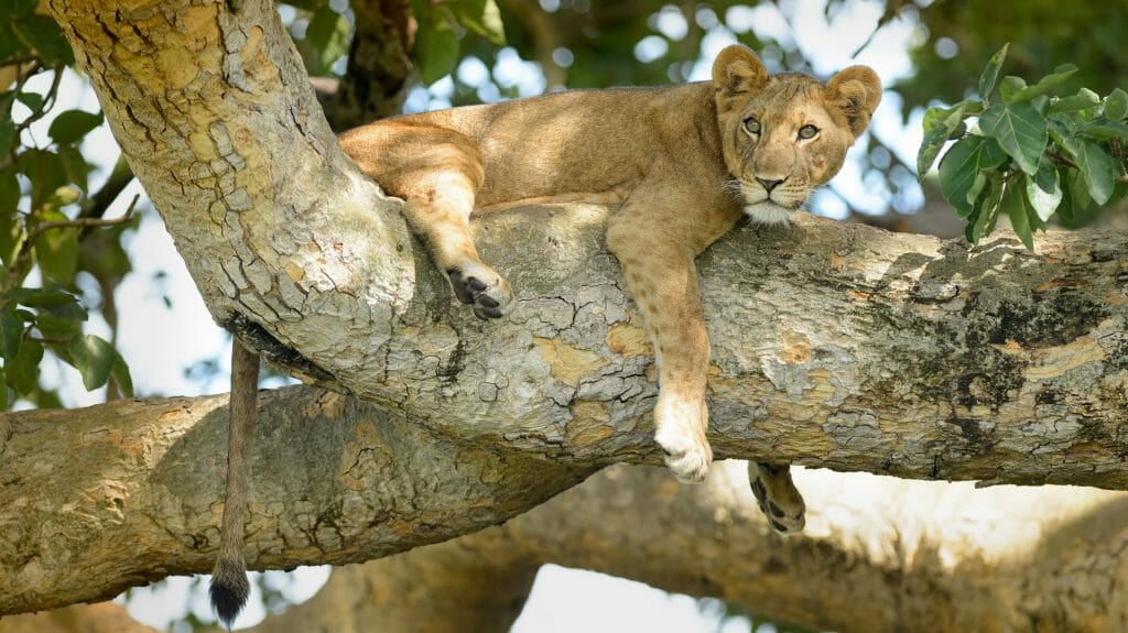 Young lion in a tree, Queen Elizabeth National Park, Uganda