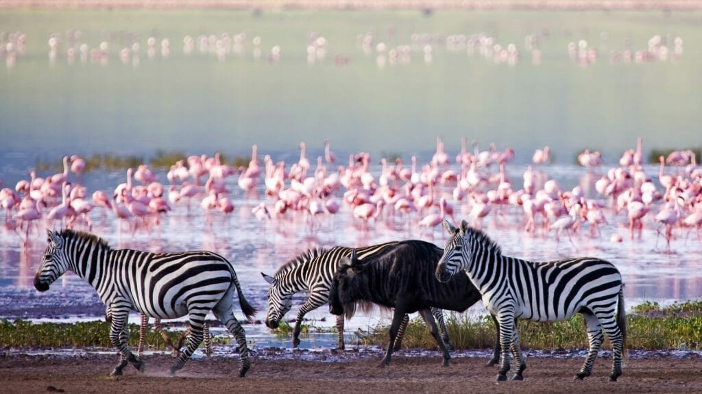 Zebras and a wildebeest walking beside the lake, Ngorongoro Crater, Tanzania