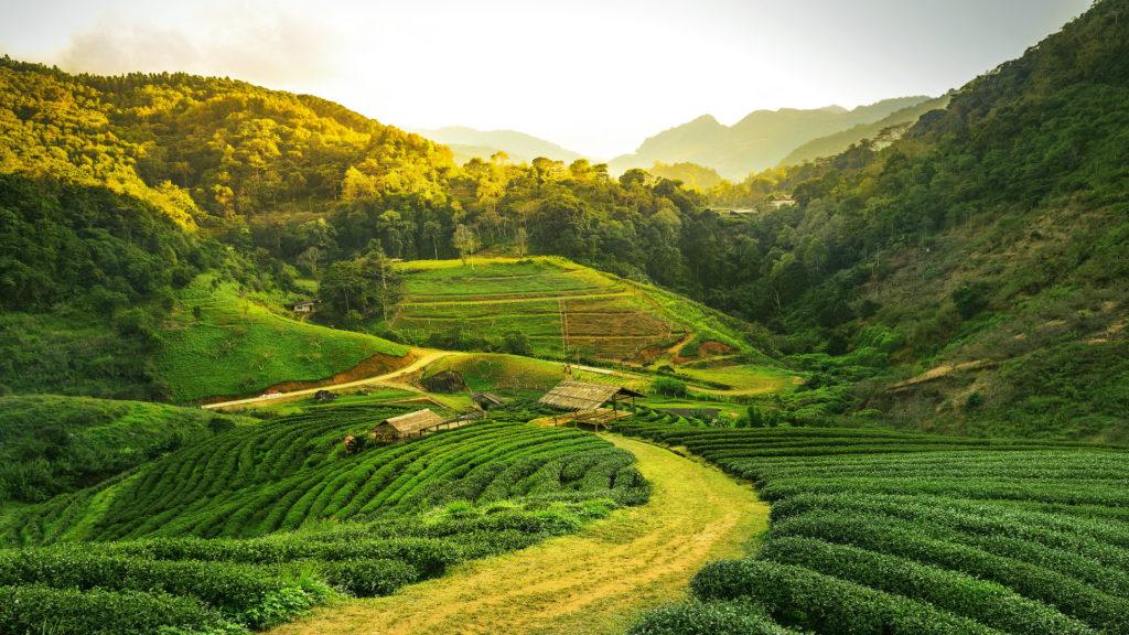 Sunrise view of tea plantation landscape, Assam tea Plantation, India