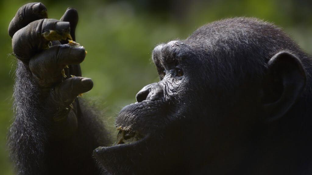 Chimpanzee, Cameroon