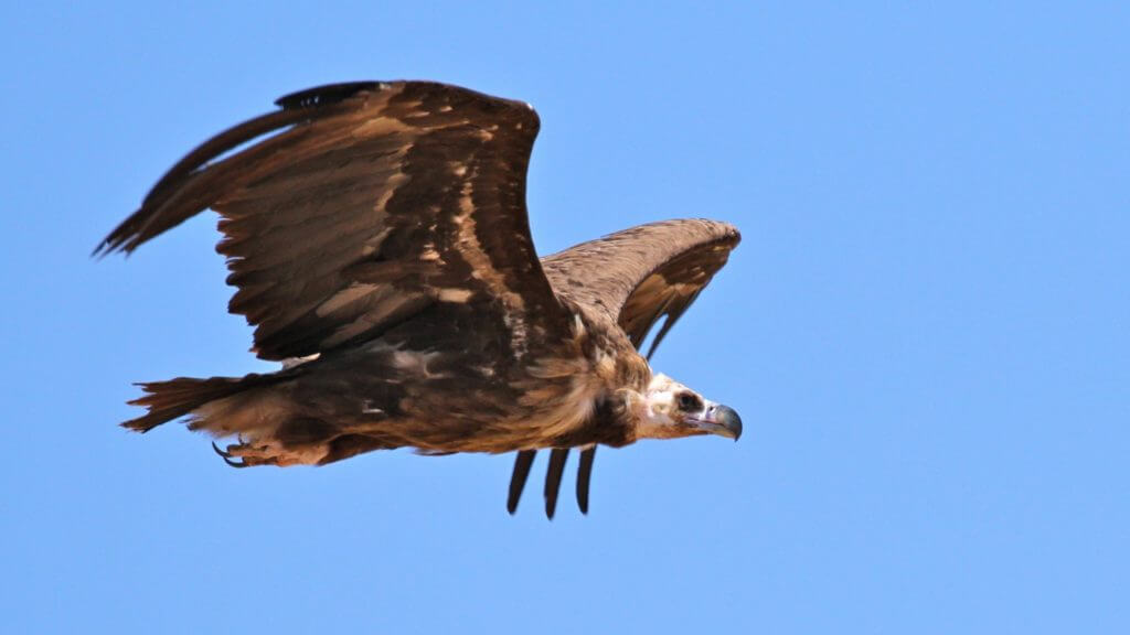 Cinereous vulture in flight against bright blue sky.