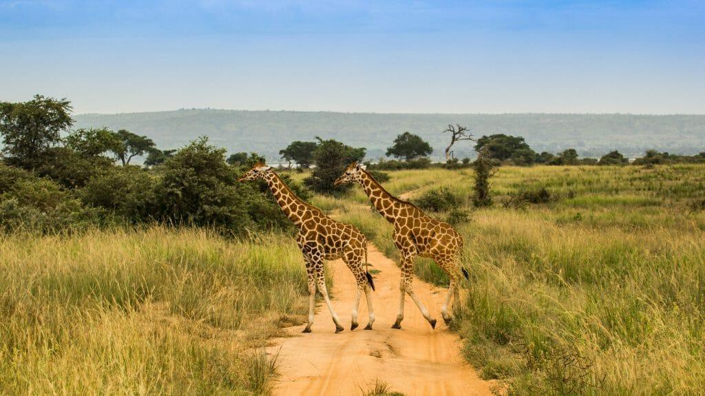 Giraffes, Murchison Falls National Park, Uganda