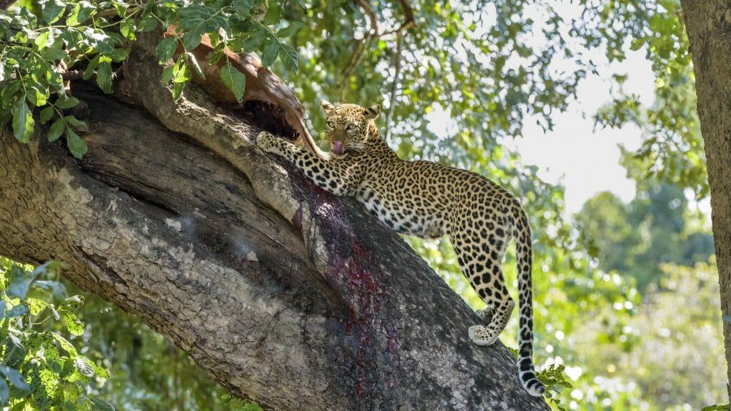 Leopard on a Tree with a Kill, Lower Zambezi, Zambia