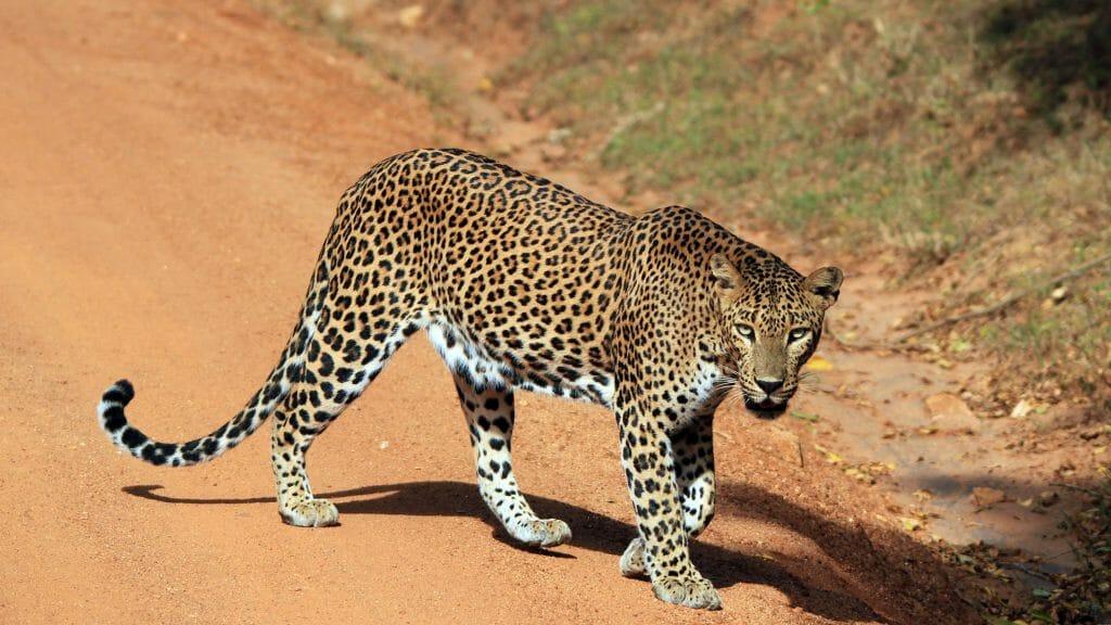 Leopard, Yala, Sri Lanka