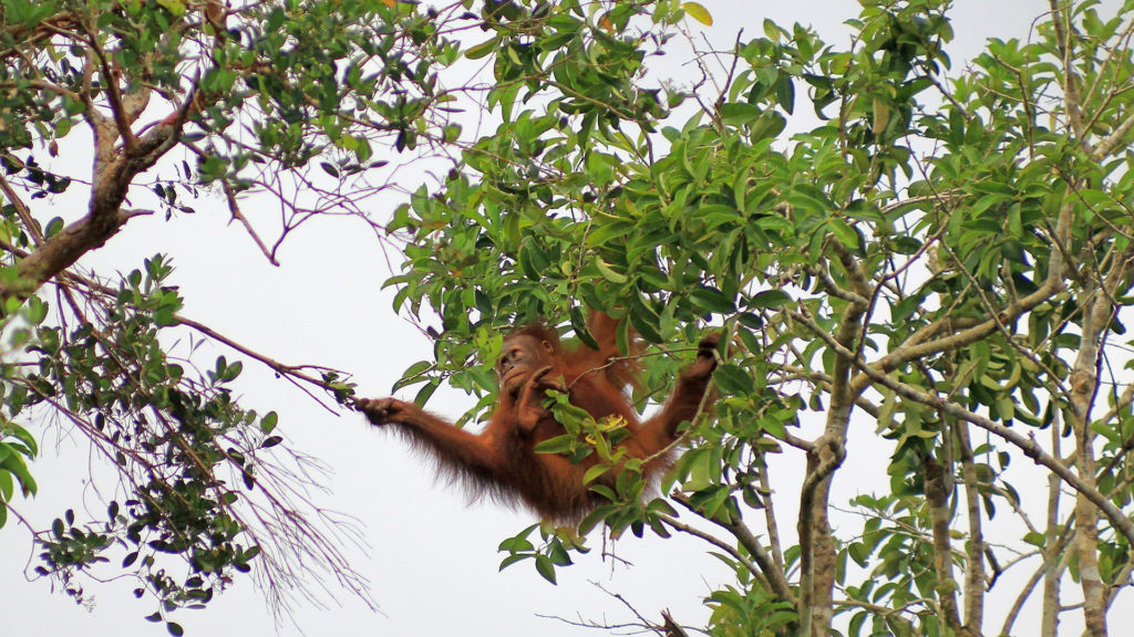 Orangutan living freely Lamandau wildlife reserve, Orangutan Foundation, Borneo
