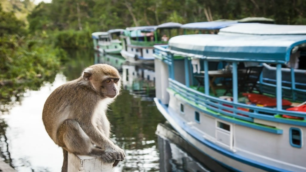 A monkey contemplates the tourist boats on the sekonyer river, , Borneo, Indonesia