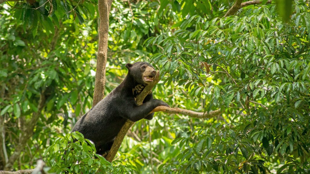 Sun Bear on a tree branch between leaves at Bornean Sun Bear Conservation Centre Sepilok in Sabah, Borneo