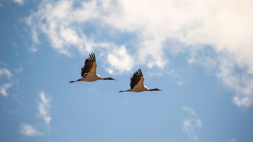 Black-Necked Cranes, Gangtey, Bhutan