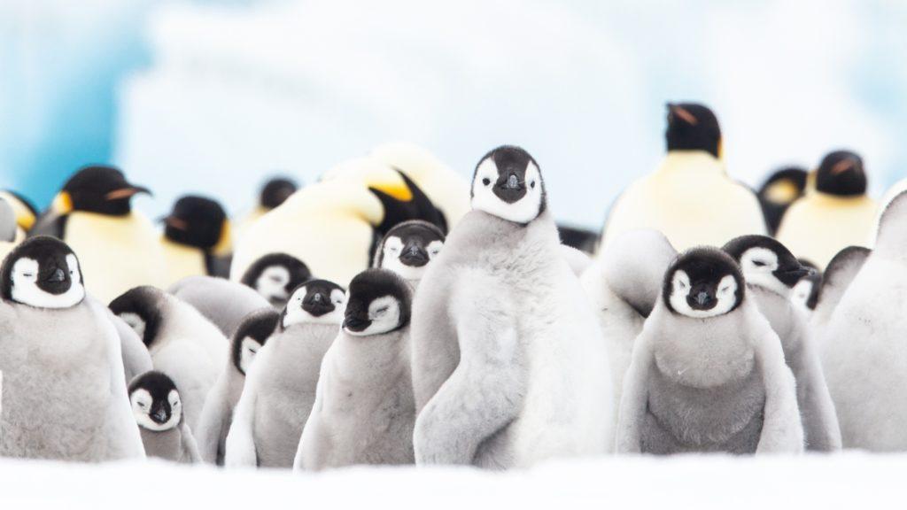 Emperor penguins, Snow Hill, Weddell Sea, Antarctica