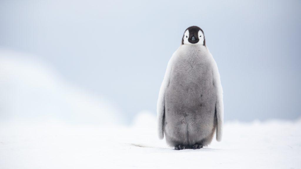Emperor Penguin, Snow Hill, Antarctica