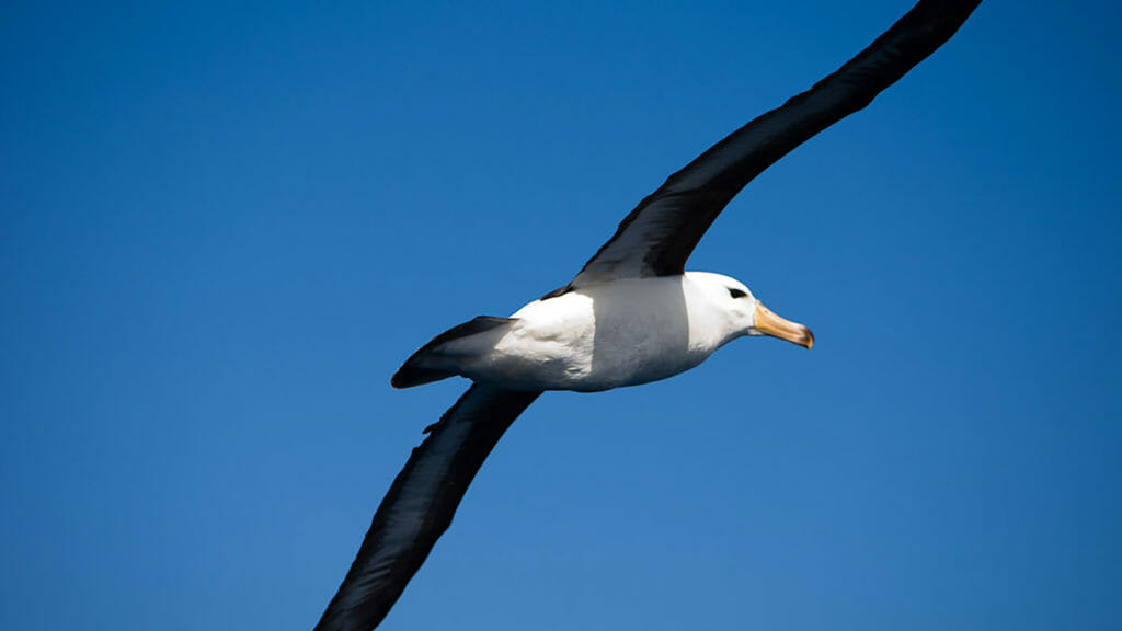 Albatross blue sky wingspan