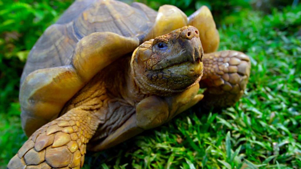 giant turtle tortoise, santa cruz island, galapagos, ecuador