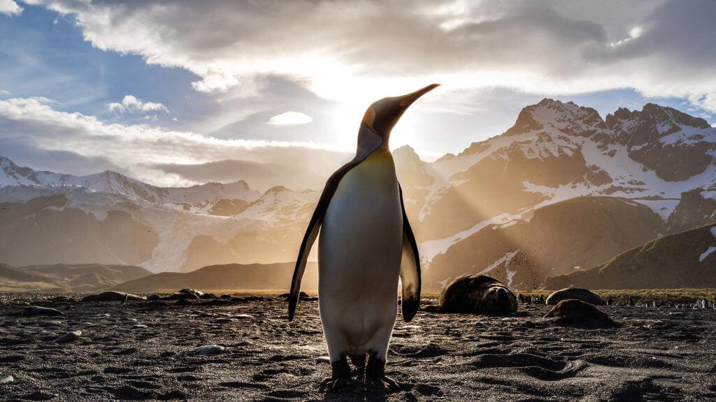 King Penguin, South Georgia, Antarctica