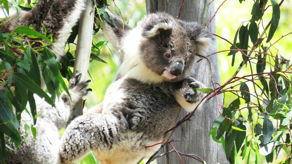 Koala hanging in tree