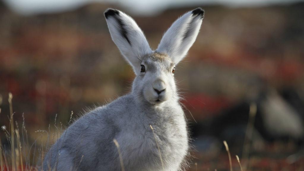 Hare, Greenland