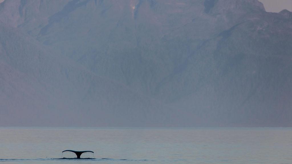 whale fluke in alaska