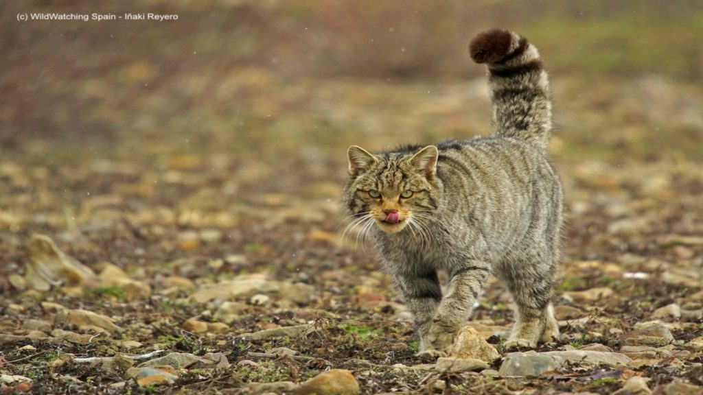 Wild Cat, Cantabrian Mountains, Spain